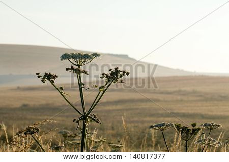 Umbelliferous wild flowers with Sussex South Downs in background early one summer morning.
