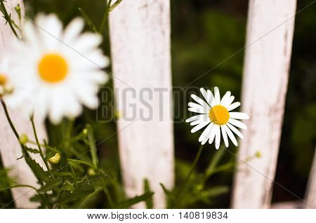 Close-up Beautiful Daisies Flowers Blooming At White Picket Fence In A Yard