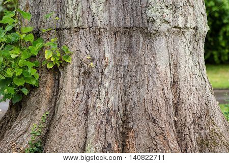 Tree trunk scarred by tight band whilst growing close. Bark on trunk of large deciduous tree marked where previously constricted during growth