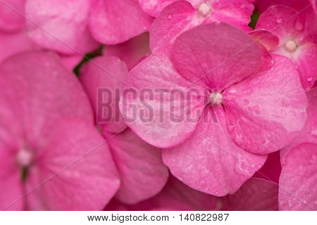 Pink Hydrangea flowers background. Flowers of deciduous shrub Hydrangea macrophylla with droplets of leaves on petals