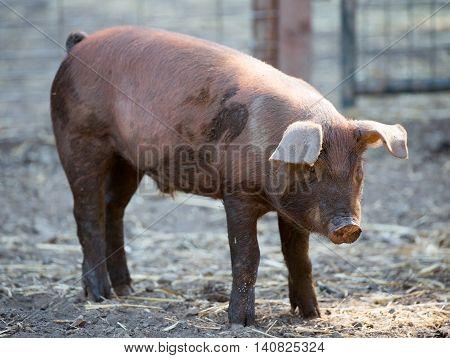 Red Wattle hog (Sus scrofa domesticus) standing in pig sty. Santa Clara County, California, USA .