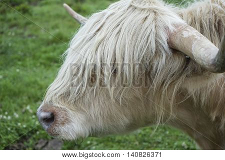White haired highland cow not interested in the camera