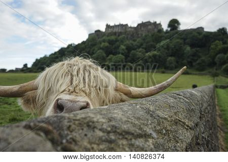 peek a boo with a highland cow near Stirling Castle