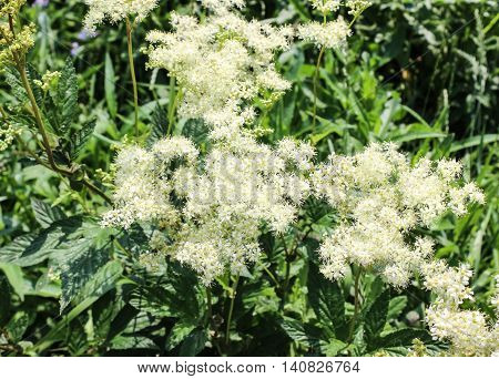 Medicinal plant Meadowsweet is used in folk medicine
