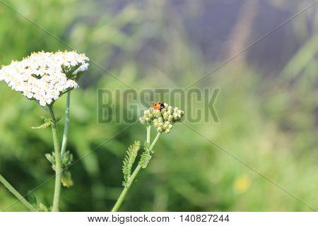 Ladybug on a yarrow flower on a meadow