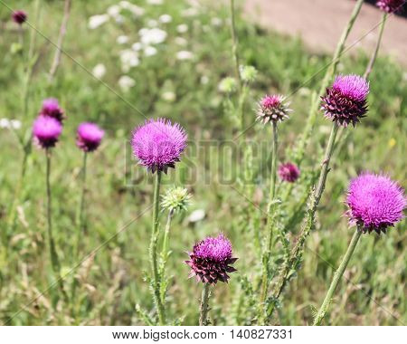 Pink flowers of a thistle on a meadow