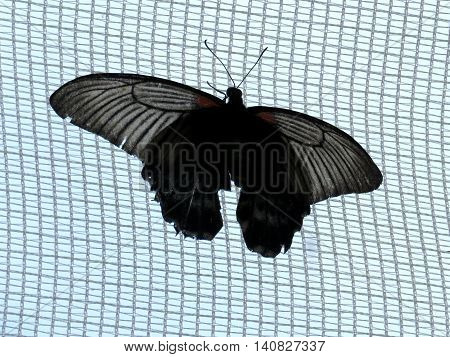 Black Great Mormon butterfly on a grid in garden of Niagara Falls Canada July 16 2016