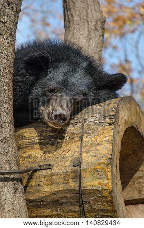 Bear sleeping on a tree in a safari park