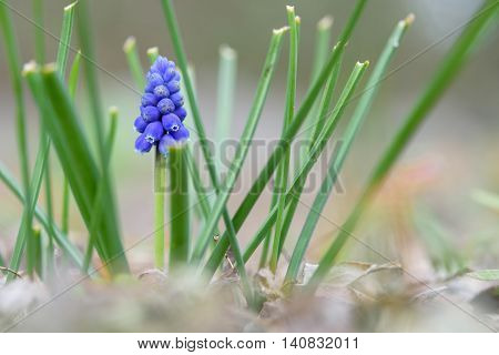 First sign of spring, closeup of grape hyacinth in bloom