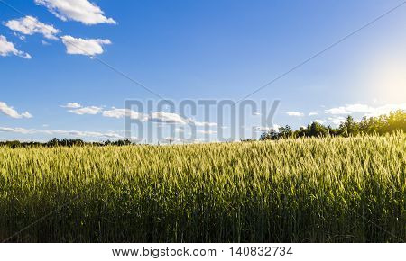 Beautiful landscape field of young wheat on a clear summer day