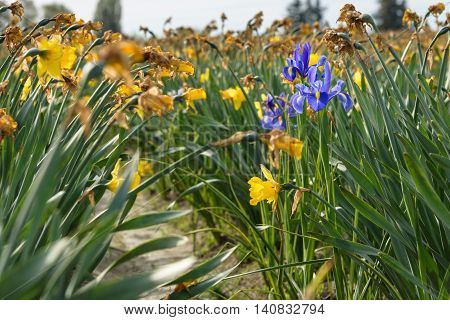 Three iris bulbs blooming in a field of spent daffodils