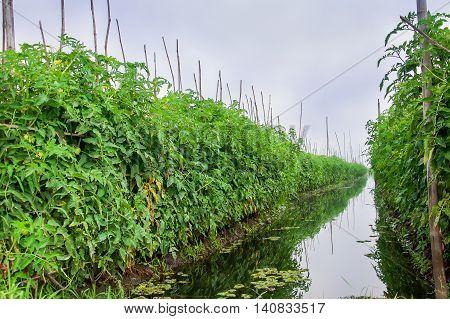 Floating farm, Inle lake, Shan state, Myanmar