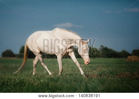 White Horse Akhal-Teke runs trot on the field