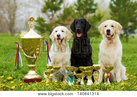 three beautiful purebred dogs Labrador Retriever and two Golden Retriever sitting with cups and prizes in the summer on the nature. The group repeated winners of exhibitions poster