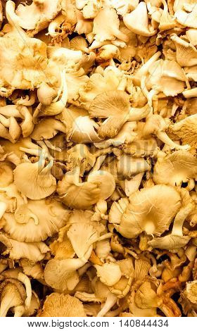 Cantharellus cibarius commonly known as the chanterelle or girolle is a fungus. It is probably the best known species of the genus Cantharellus if not the entire family of Cantharellaceae. It is orange or yellow meaty and funnel-shaped.
