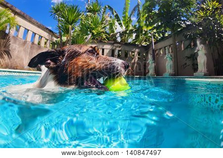 Playful jack russell terrier puppy in swimming pool has fun - dog jump swim and dive underwater to retrieve ball. Training popular dog breeds and active games with family pets.