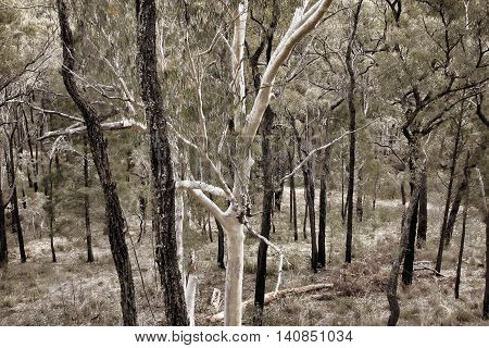 beautiful native bush trees growing in Australia