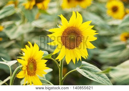 Field Of Blooming Sunflowers. Field Of Sunflowers With Blue Sky.