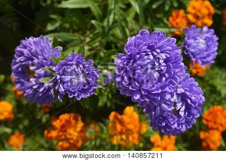 purple asters and orange marigolds in the background flowerbed in the garden