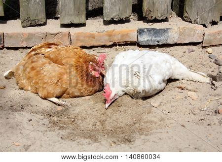 red and white chicken in the village yard take sand baths