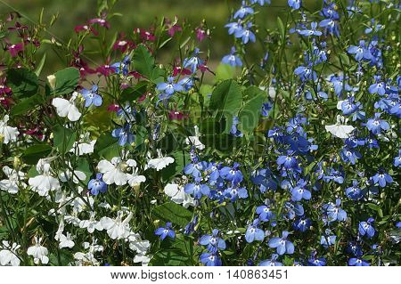 Small And Colorful Flowers Lobelia Incredible Beauty