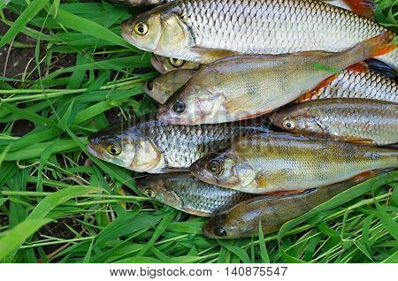 catch perch and chub in the grass
