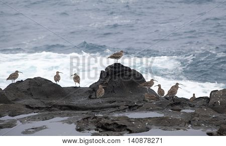 flock of slender-billed curlews waiting for favorable feeding conditions by water edge poster