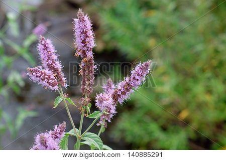 Peppermint Plant Flower In Sunlight Day