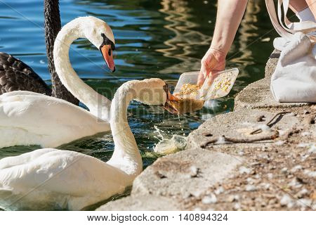 Feeding the swans on the shore of Lake Eola Close-up of white Swans feed by hand. with selective focus.. Orlando Florida.