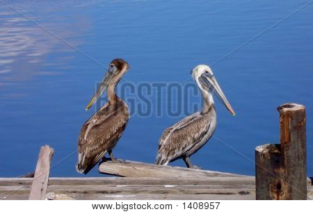 Louisiana Pelicans on the Slidell