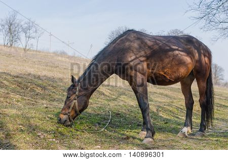 Chestnut horse (mare) grazing first fresh grass on a spring pasture