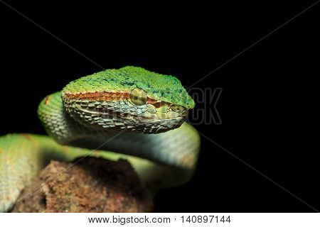 Green Snake Or Green Pit Viper In Nature Of Thailand, Isolated On Black