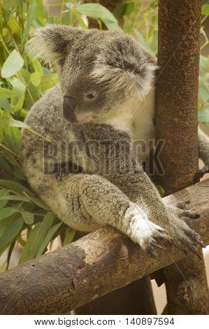 Portrait of male Koala bear sitting on the tree
