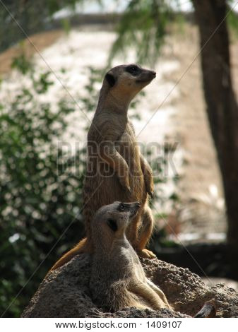both of the meerkats are on patrol