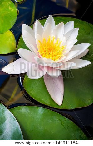 One Pink Water Lily Blossomed into a lake with Beautiful Petals and Leaves