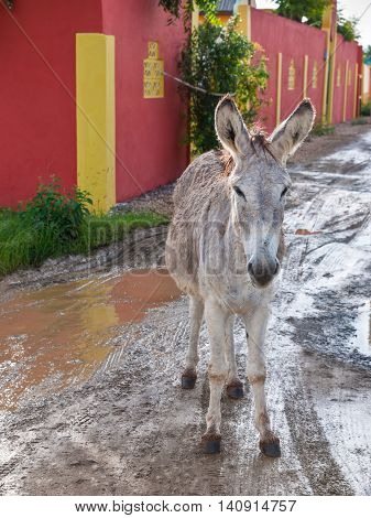 A wild donkey (Equus asinus) on the road in Bonaire originally brought to the island by the Spaniards in the 17th century many donkeys still roam free while others have been moved to the Donkey Sanctuary to help prevent accidents with cars.