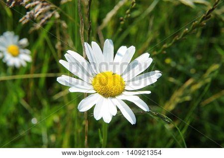 Chamomile flower spontaneously in an Italian field