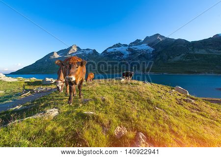 Cows In High Mountain Pasture Near A Lake