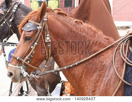 Head shot of sweaty chestnut colored Peruvian Paso horse with bridle and reins
