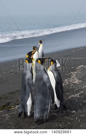 King penguins gathering for a meeting on the beach of Gold Harbor in South Georgia