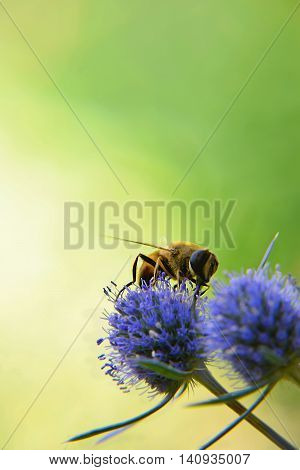 (Eristalis tenax).eristalis common. Fly drinking nectar on a blue field thistle.feverweed (Eryngium).Close-up. At dawn fly collects nectar from feverweed. Summer.