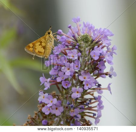 A Peck's Skipper (Polites peckius) climbing up a cluster of Butterfly Bush flowers as it feeds on nectar.