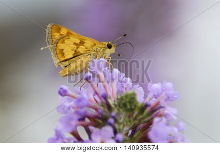 A Peck's Skipper (Polites peckius), perched on the top of a cluster of Butterfly Bush flowers as it gathers nectar.