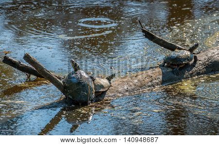 Turtles basking in the sun on a log in a muddy swamp near the Chesapeake Bay in Maryland