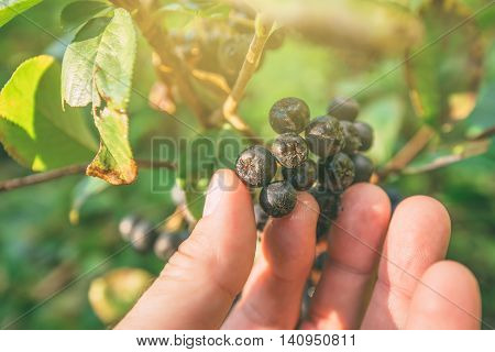 Hand picking ripe aronia berry fruit from the branch selective focus