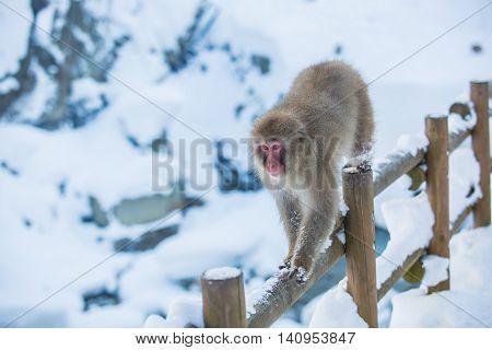 Snow Monkey on wooden fence at Jigokudani Onsen in Nagano Japan.