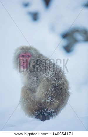 Snowmonkey Snow Monkey on snow at Jigokudani Onsen in Nagano Japan.