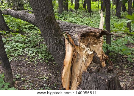 The fallen tree in the summer wood