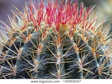 the tip of a green cactus with sharp red and yellow long spines