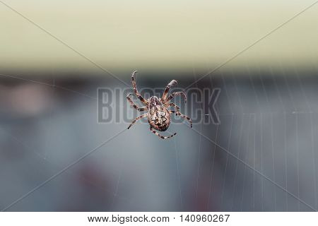 thick scary hairy spider spinning its web